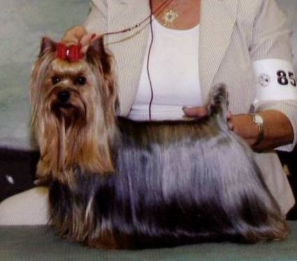 Yorkshire Terrier Puppies for Sale   Yorkmont Yorkshire